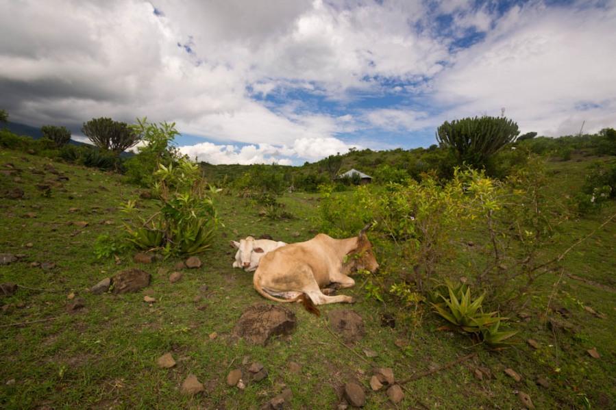 Cows sleeping