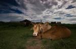 Cow couple