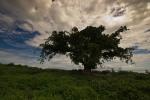 """""""Fig"""" Tree"""