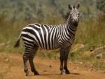 Uhh... zebra