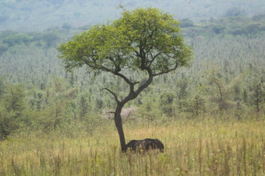 White rhino... in the distance